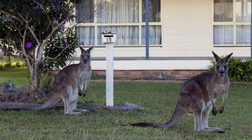 Australians Urged to Eat Kangaroo Meat as Population Explodes — Marsupial Madness