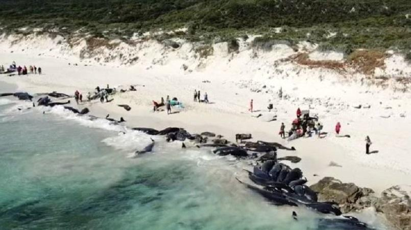 Whales Beached in Australia, as Rescuers Fight to Save Them