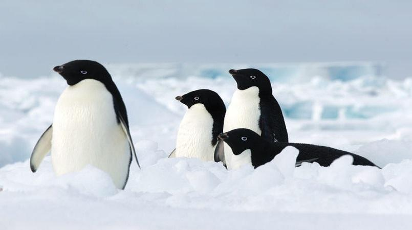 Thousand of penguin chicks die of starvation in Antarctica breeding 'catastrophe'