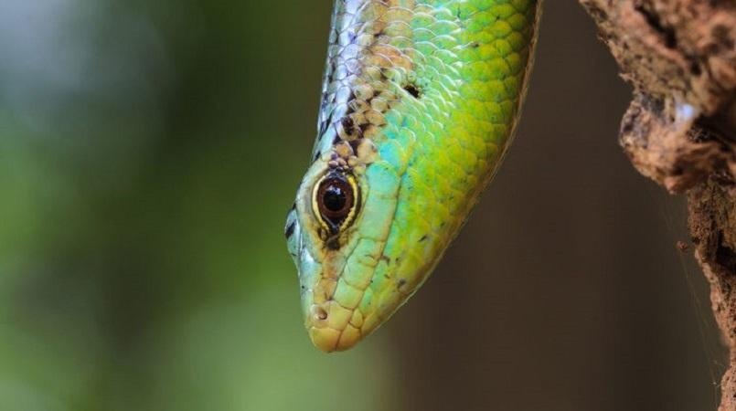 Rare skink thought to be extinct found in Niue