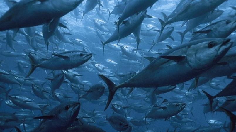 NZ urged to help monitor tuna poachers in Pacific