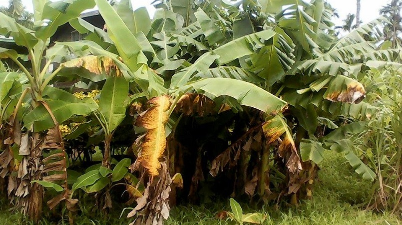 Drought resilience crops (bananas)