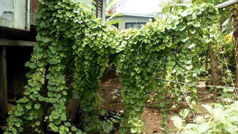 Drought resilience crops (yams)